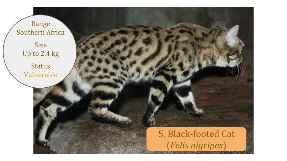 Black-footed Cat (Felis nigripes) - Felis Lineage