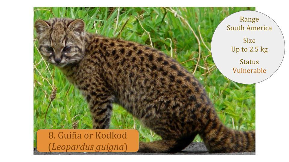 Guiña or Kodkod (Leopardus guigna) - Leopardus Lineage