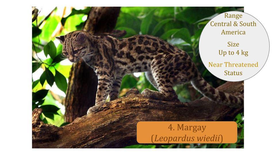 4. Margay (Leopardus wiedii) - Leopardus Lineage