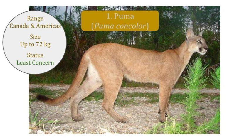 Puma / Mountain Lion / Cougar (Puma concolor): News Posts