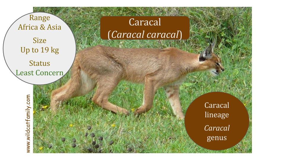 Caracal cat (Caracal aurata) - Caracal genus - Caracal lineage