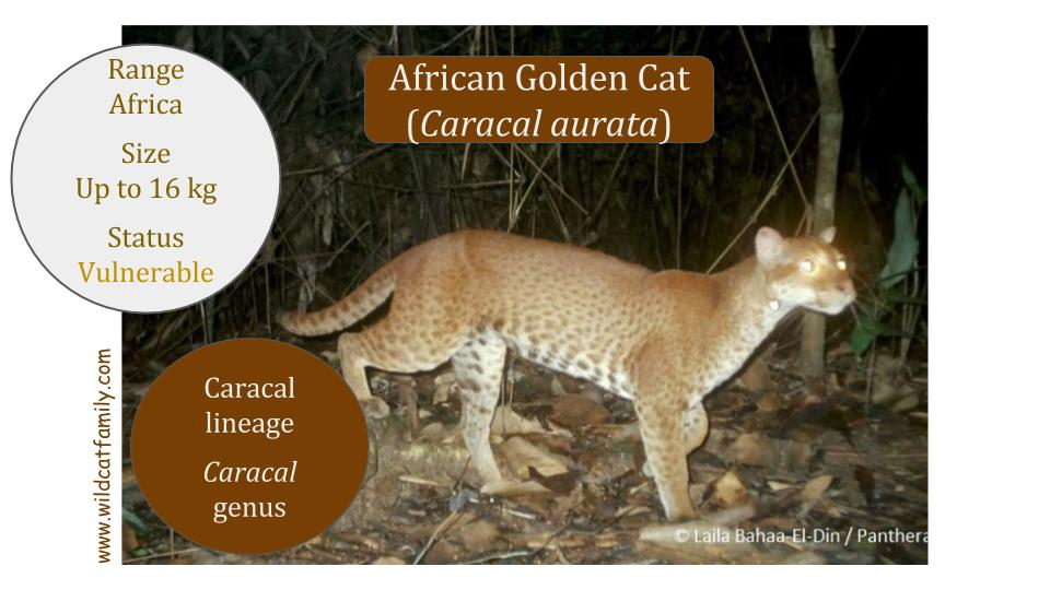 African Golden Cat (Caracal aurata) - Caracal genus - Caracal lineage
