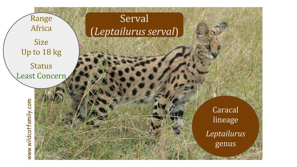 Serval Cat (Leptilurus serval) - Leptailurus genus - Caracal lineage