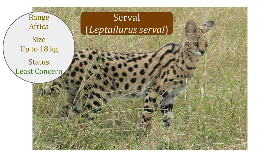 Serval (Leptailurus serval) - Caracal Lineage