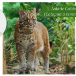 Bay Cat - Asiatic Cat Family