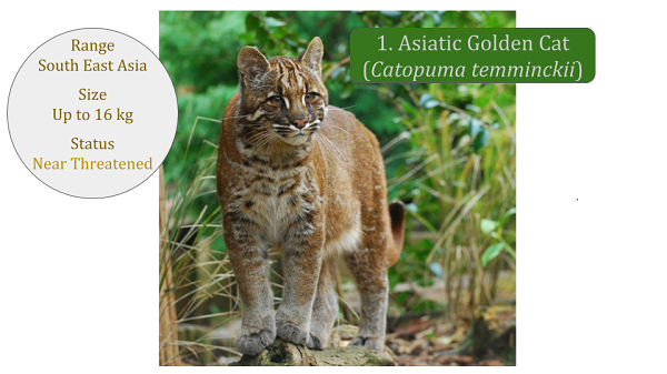 Asiatic Golden Cat (Catopuma temminckii) - Bay Cat Lineage