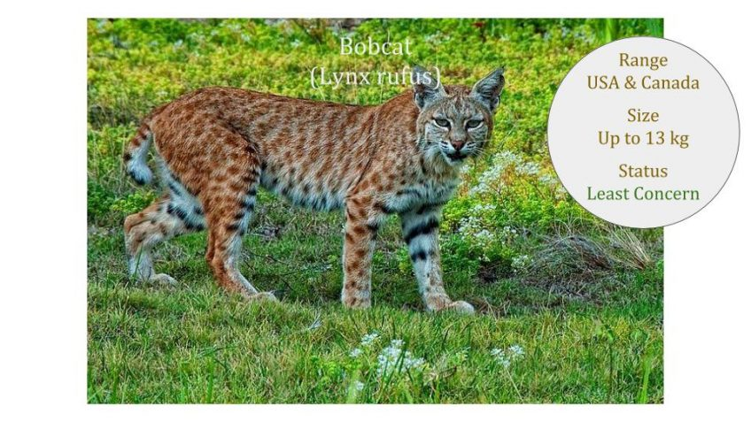 Wild Cat Research ~ IUCN Cat Specialist Group Library Update 2018 Mar 27