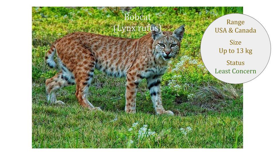 Bobcat - Lynx rufus - Lynx Genus