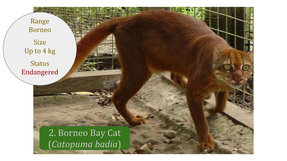 Borneo Bay Cat (Catopuma badia) - Bay Cat Lineage