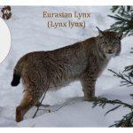 Lynx Cat Family