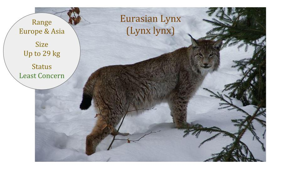 Eurasian Lynx - Lynx lynx - Lynx Lineage