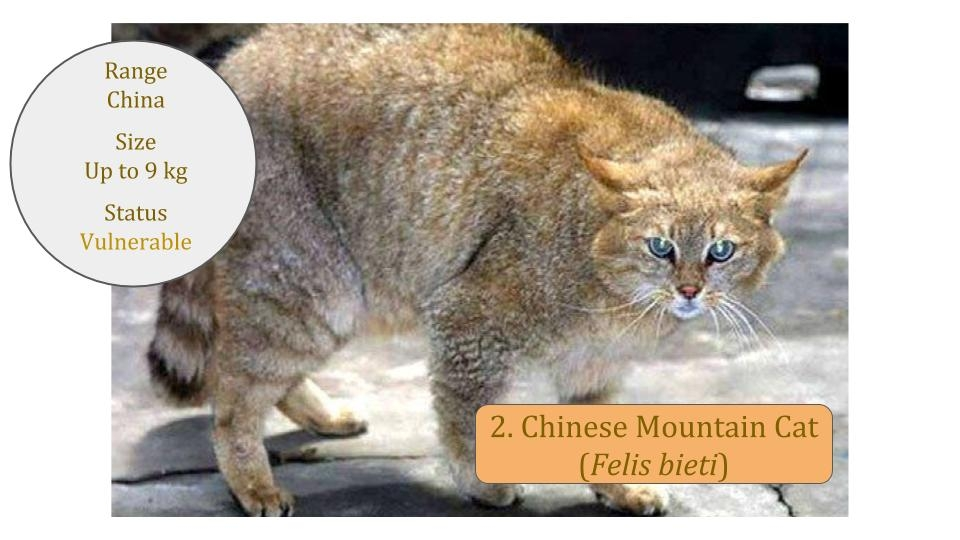 Chinese Mountain Cat (Felis bieti)