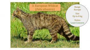 European Wildcat (Felis silvestris)
