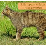 Trips to see European Wildcats