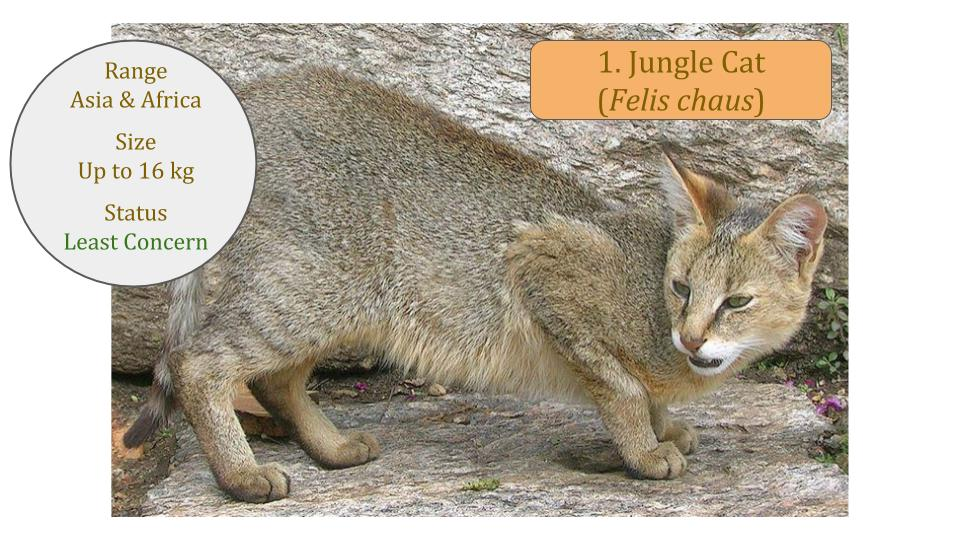Jungle Cat (Felis chaus) - Felis Lineage