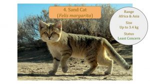 Sand Cat (Felis margarita) - Felis Lineage
