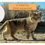 Felis Cat Family