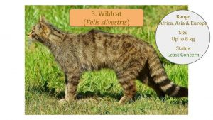 Wildcat (Felis silvestris) - Felis Lineage