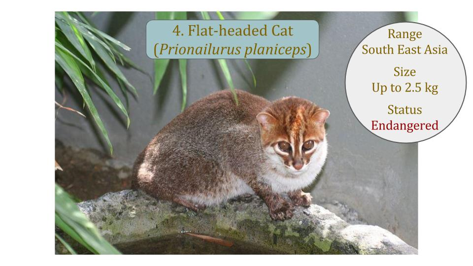 Flat-headed Cat (Prionailurus planiceps) - Leopard Cat Lineage