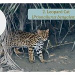 Leopard Cat -  Asian Cat Family