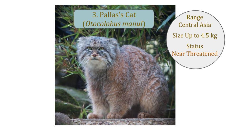 Pallas's Cat (Otocolobus manul) - Leopard Cat Lineage