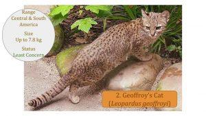 Geoffroy's Cat (Leopardus geoffroyi) - Leopardus Lineage