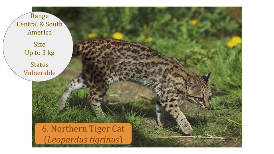 Northern Tiger Cat (Leopardus tigrinus) - Leopardus Lineage