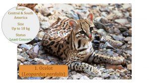 Ocelot (Leopardus pardalis) - Leopardus Lineage