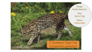 Southern Tiger Cat (Leopardus guttulus) - Leopardus Lineage
