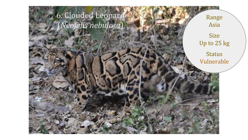 Clouded Leopard (Neofelis nebulosa) - Panthera lineage