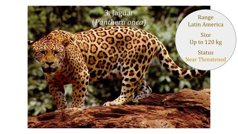 Jaguar (Panthera onca) - Panthera lineage