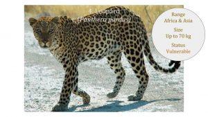 Leopard (Panthera pardus) - Panthera lineage