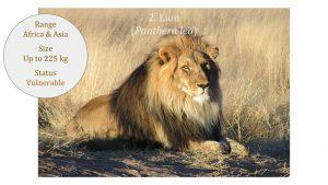 Lion (Panthera leo) - Panthera lineage