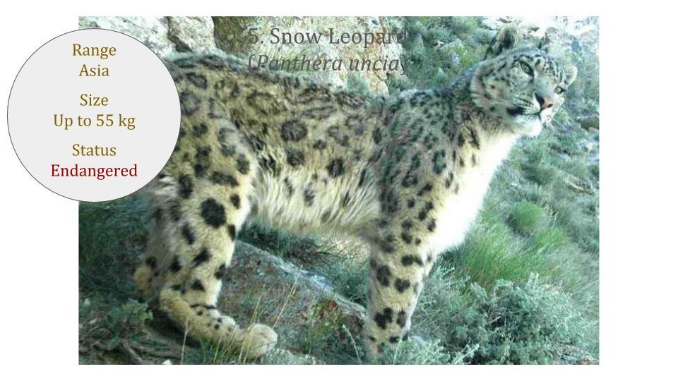 Snow Leopard (Panthera uncia) - Panthera lineage