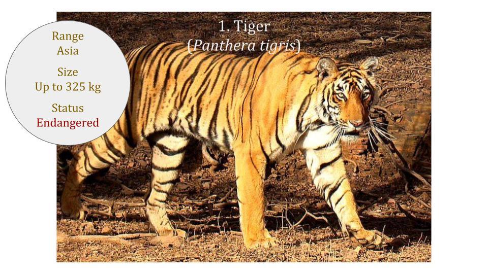 Tiger (Panthera tigris) - Panthera lineage