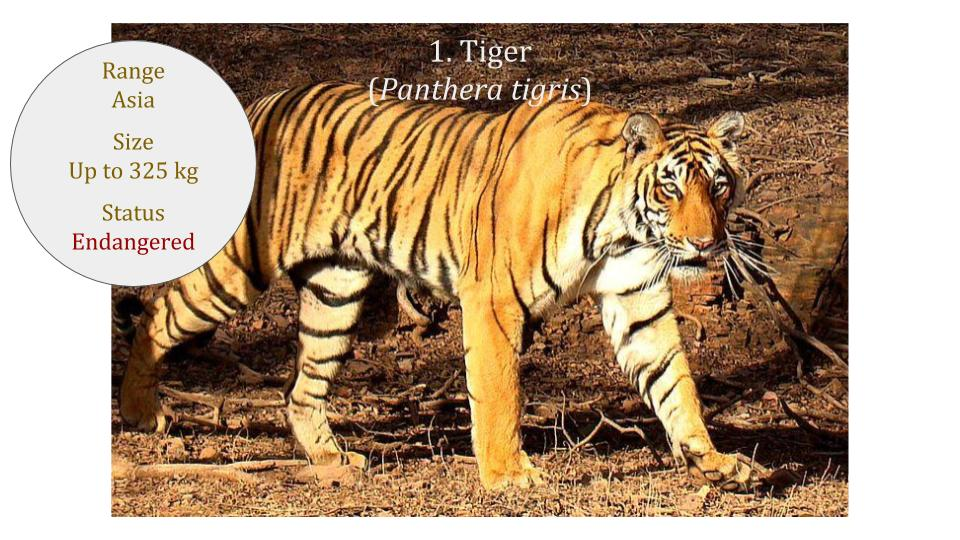 742c0fd698 Panthera Genus ~ Neofelis Genus ~ Classification ~ Wild Cat Family