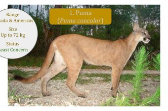 Puma / Mountain Lion / Cougar (Puma concolor): News Posts