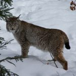Trips to see Lynx in Europe
