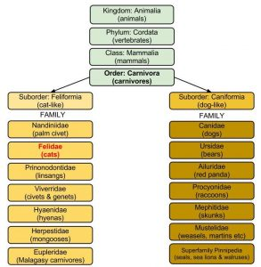 Felidae family classification