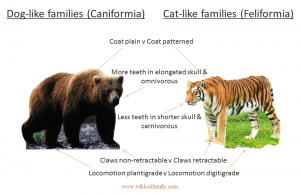 Differences between dog like and cat like families