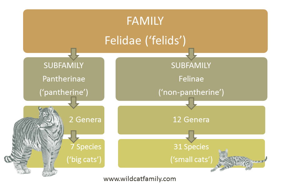 Felidae Lower Classification