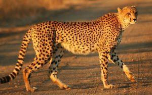 Big Cat 7 of 7 | Acinonyx jubatus | Cheetah