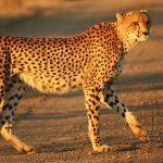 Trips to see Cheetahs