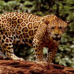 Trips to see Jaguars in South America