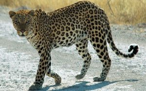 Big Cat 4 of 7 | Panthera pardus | Leopard