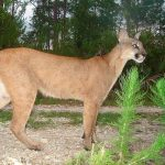 Trips to see Pumas / Mountain Lions in South America