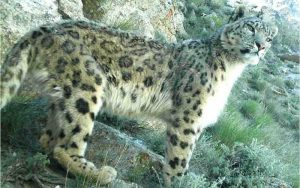 Big Cat 5 of 7 | Panthera uncia | Snow Leopard