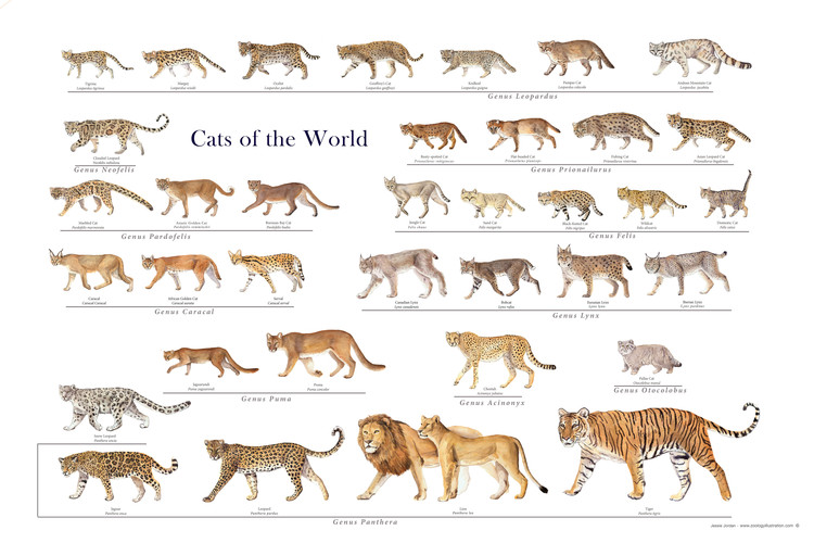 Cats of the World - Felidae poster by Jessie Jordan