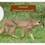 Caracal Cat Family