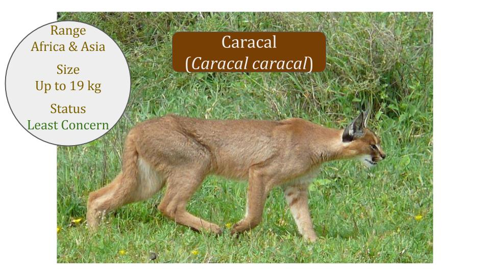 Caracal (Caracal caracal) - Caracal lineage